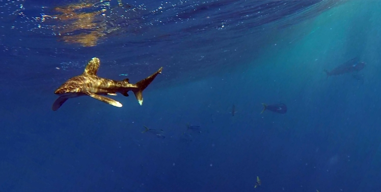 Oceanic Whitetip with mahi Dolphinfish Research Program PR FAD system research